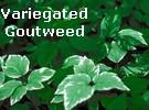vari-goutweed (8K)