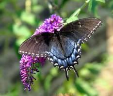 butterfly bush with butterfly feeding on it