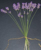 lavender fan detail