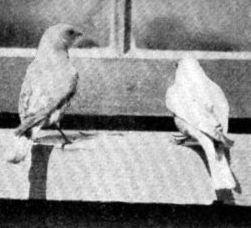 bluebirds feeding