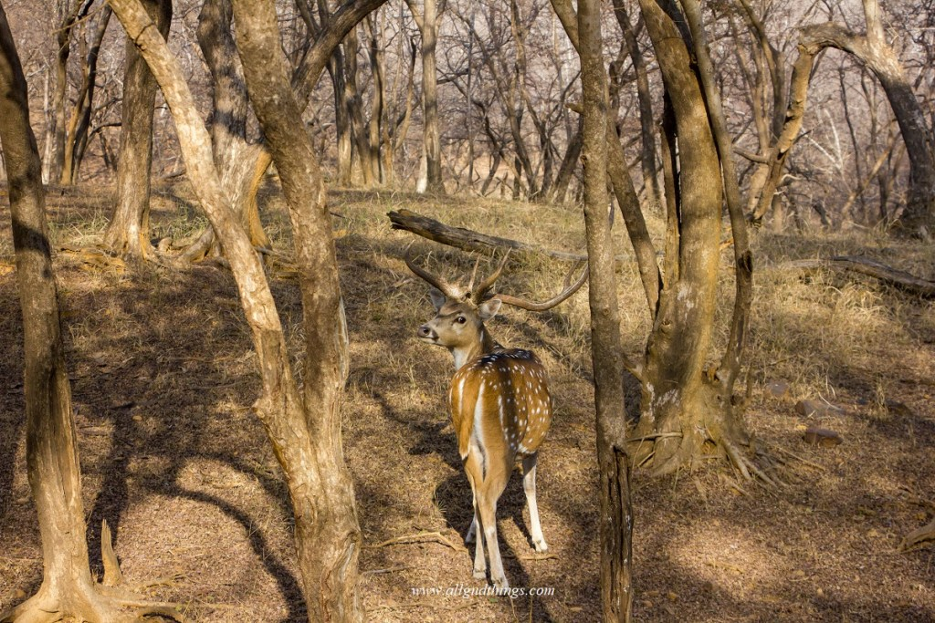 Spotted Deer in Ranthambore