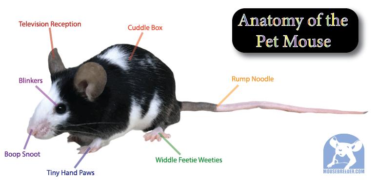 Pet Mice Mouse Breeder