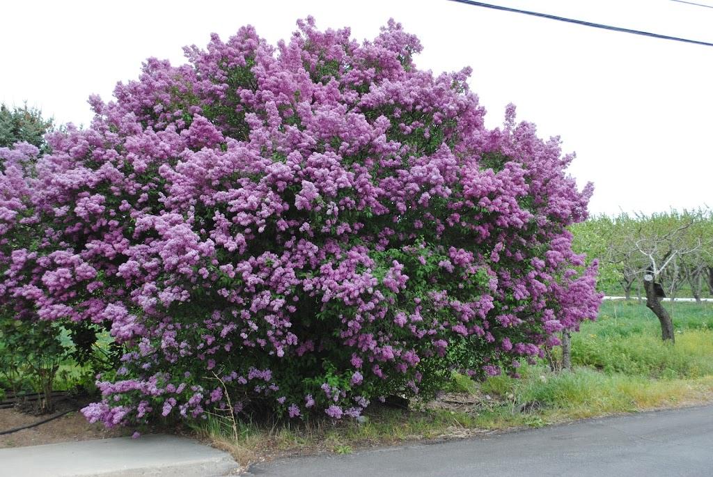Lilac Memories sllmyfriendsareflowers.com