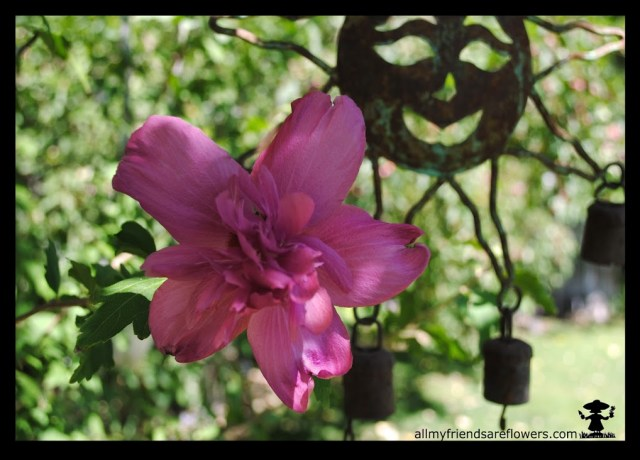allmyfriendsareflowers.com, rose of sharon