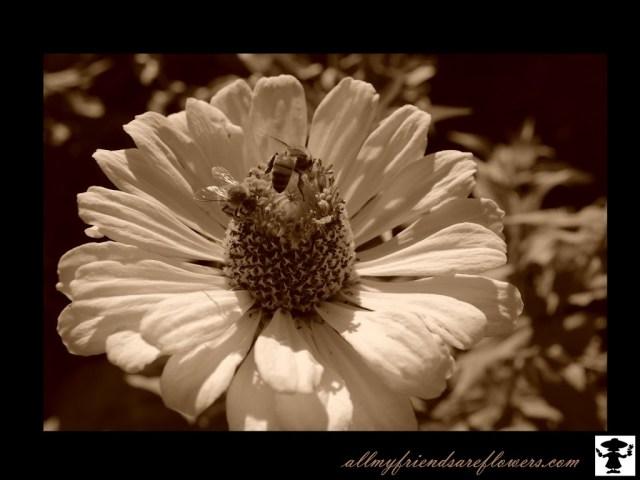 gardening, bees, zinnias, flowers, allmyfriendsareflowers.com