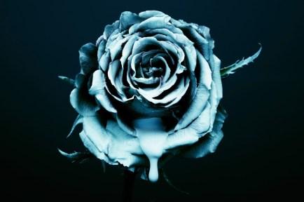 blue rose photography