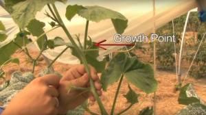 How to Prune Trailing Cucumbers – Pruning Cucumbers