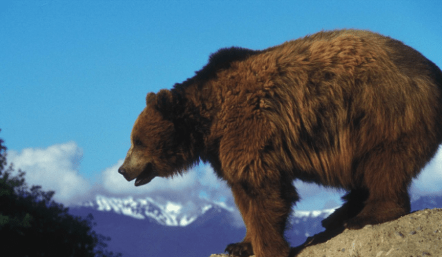 Wyoming To Petition For Delisting of Grizzly Bears