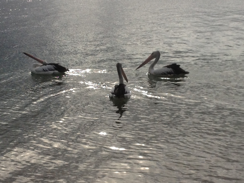 Pelicans on the Clyde River