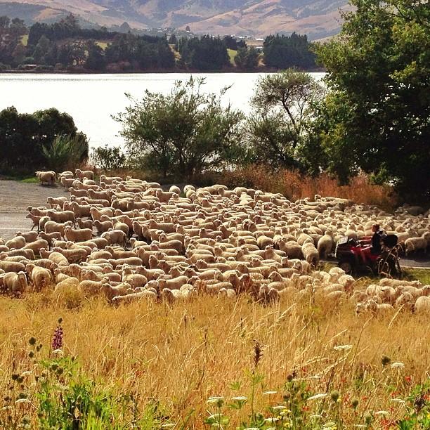 New Zealand sheep cross the road.