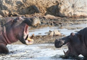 On a family safari in Tanzania, Claire spotted hippos at play. Or something.