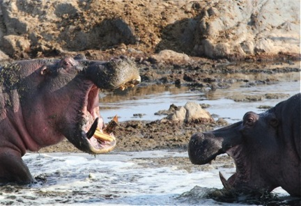 The Buffalo and the Hippo: A Family Safari in Tanzania from a Kid's Point of View