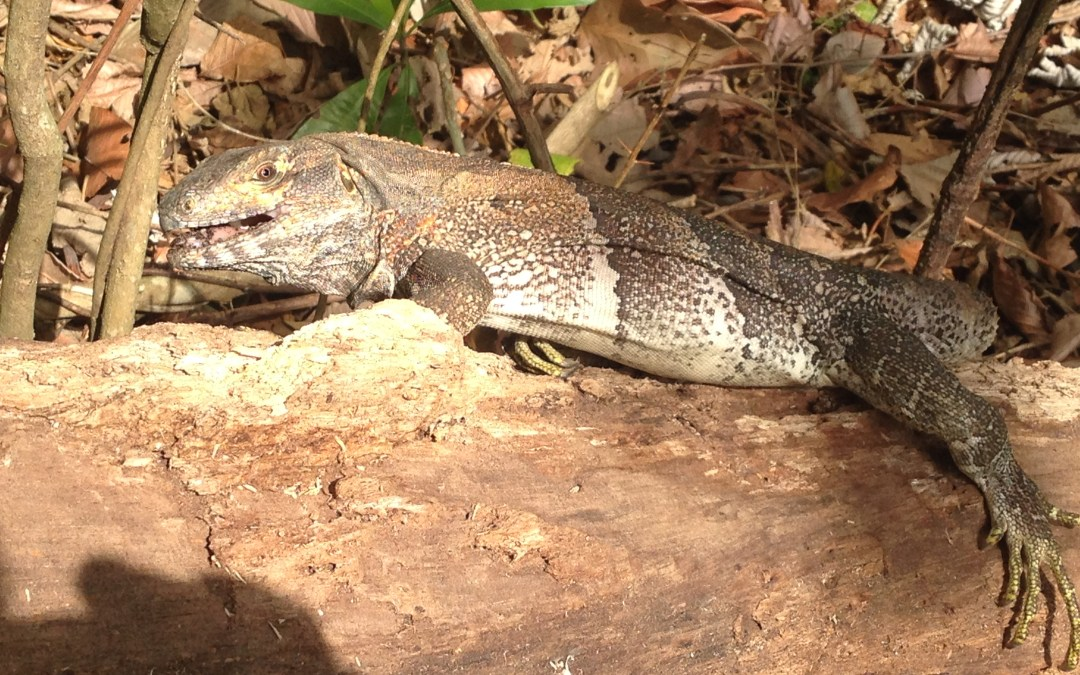 Iguana – It's What's for Dinner