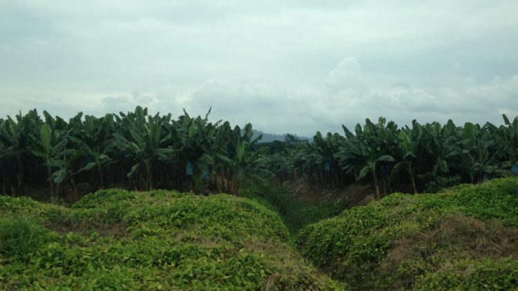 Rows and rows of banana trees for as far as the eye can see. At one point, this area of Costa Rica was all owned by the U.S. Corporation United Fruit Company.