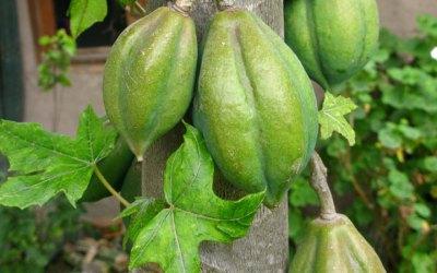 Las Papayas de Monte