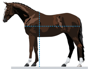 Equidistant horse conformation