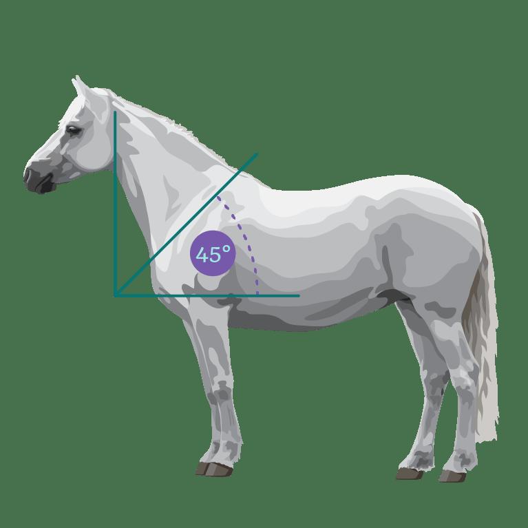 horse shoulder angle illustration