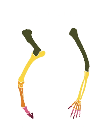 horse human compare skeletal structure front limbs