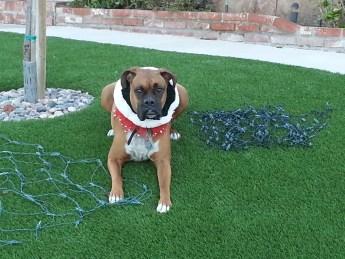 Our boxer Rocco