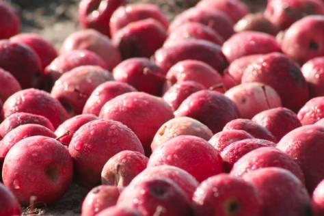 Rote Äpfel im Morgentau