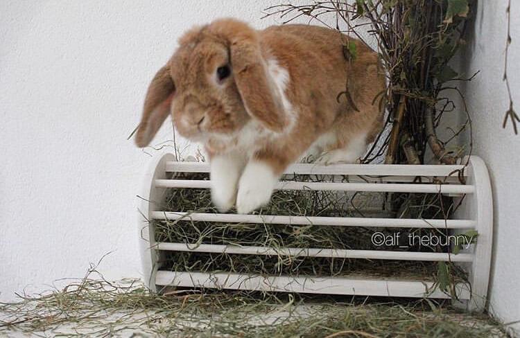 funny bunny pose running