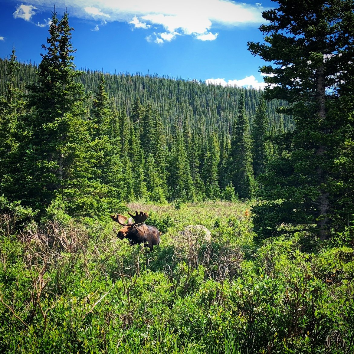 Moose at Brainard Lake Recreation Area All Things Boulder