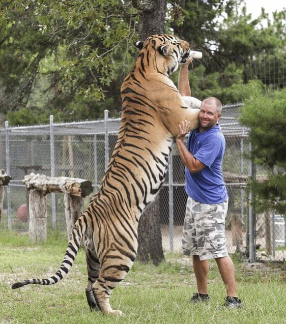 tiger - tallest animals in the world