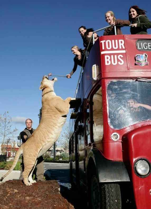 liger - tallest animals in the world