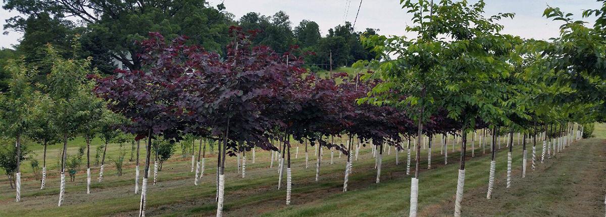 Tree Fruit Wholesale Nursery