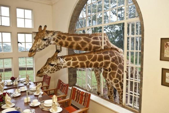 Breakfast with giraffes