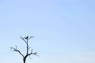 Ave de rapina nos céus do Botswana