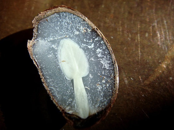 Persimmon Seed Split Open