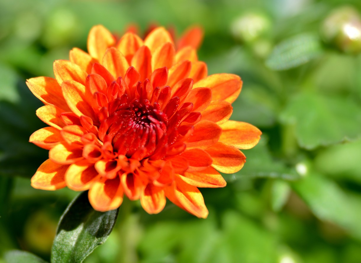 Chrysanthemums-flower basket