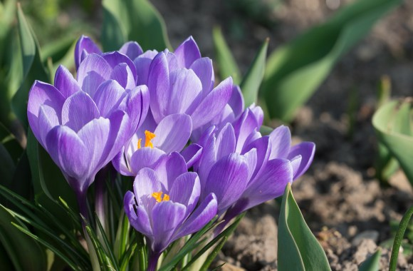 Crocuses: How to Plant, Grow, and Care for Crocus Flowers | The ...