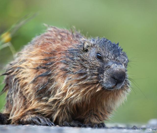 How To Get Rid Of Groundhogs A K A Woodchucks