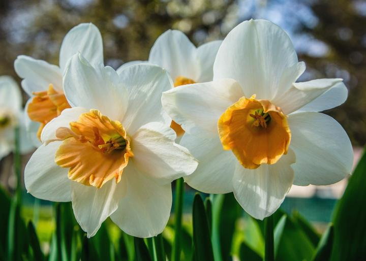 Daffodils  How to Plant  Grow  and Care for Daffodil Flowers   The     Daffodils with white and orange