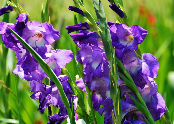 Gladiolus  How to Plant  Grow  and Care for Gladiolus   The Old     Purple gladiolus