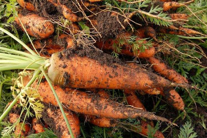 harvest-carrots-early-winter.jpg