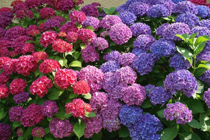 Hydrangeas  How to Plant  Grow  and Prune Hydrangea Shrubs   The Old     How to Prune a Hydrangea
