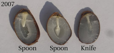 persimmon_seed_prediction_graphic.jpg