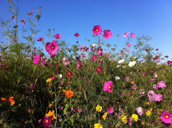 Cosmos  How to Plant  Grow  and Care for Cosmos Flowers   The Old     planting cosmos jpg