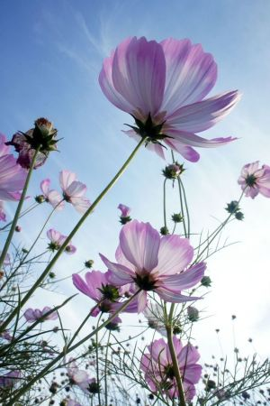 Cosmos  How to Plant  Grow  and Care for Cosmos Flowers   The Old     purple cosmos harvest jpg
