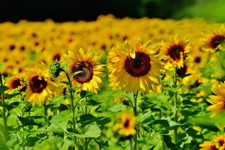 Sunflowers  How to Plant  Grow  and Care for Sunflower Plants   The     Sunflowers