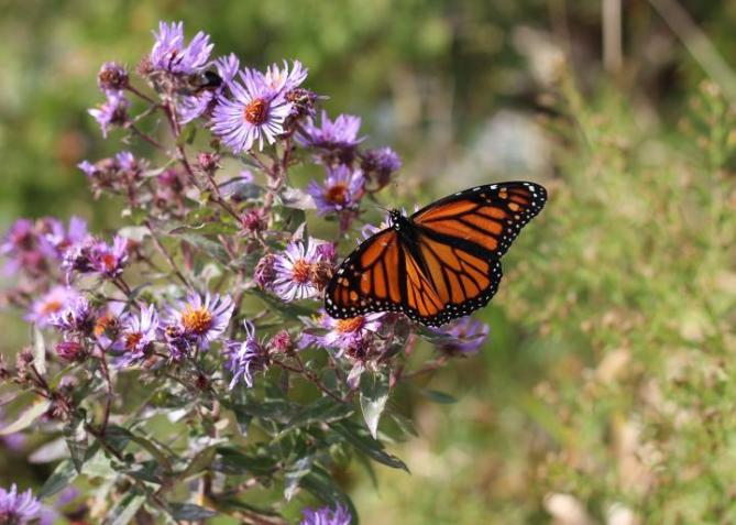 Aster and monarch butterfly