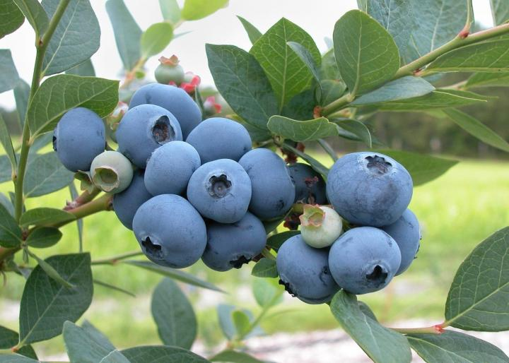 Blueberries Planting Growing And Harvesting Blueberries At Home The Old Farmer S Almanac
