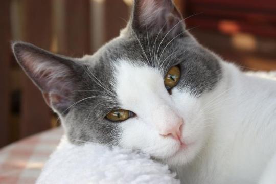 cat-itchy-ears.jpg