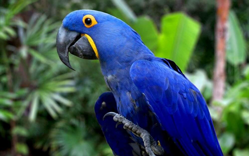 Guacamayo azul, un animal extinguido