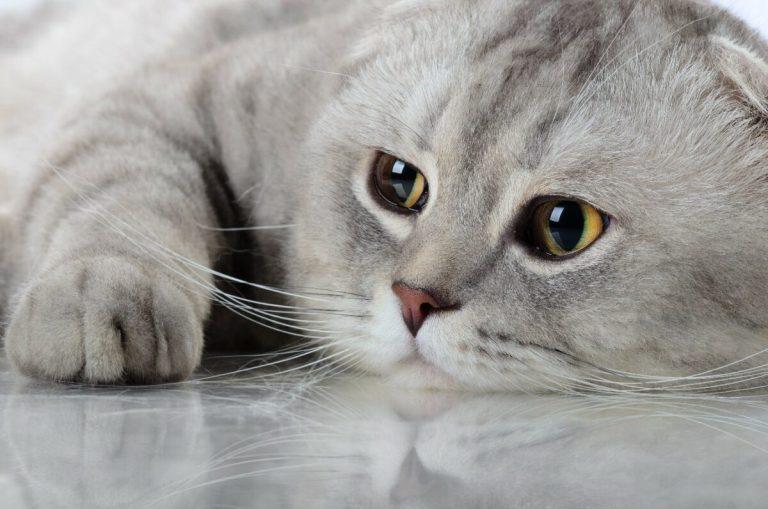 Por qué mi gato vomita