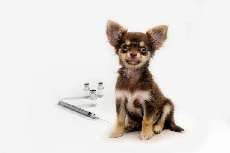 sacar al cachorro a la calle antes de la vacunación