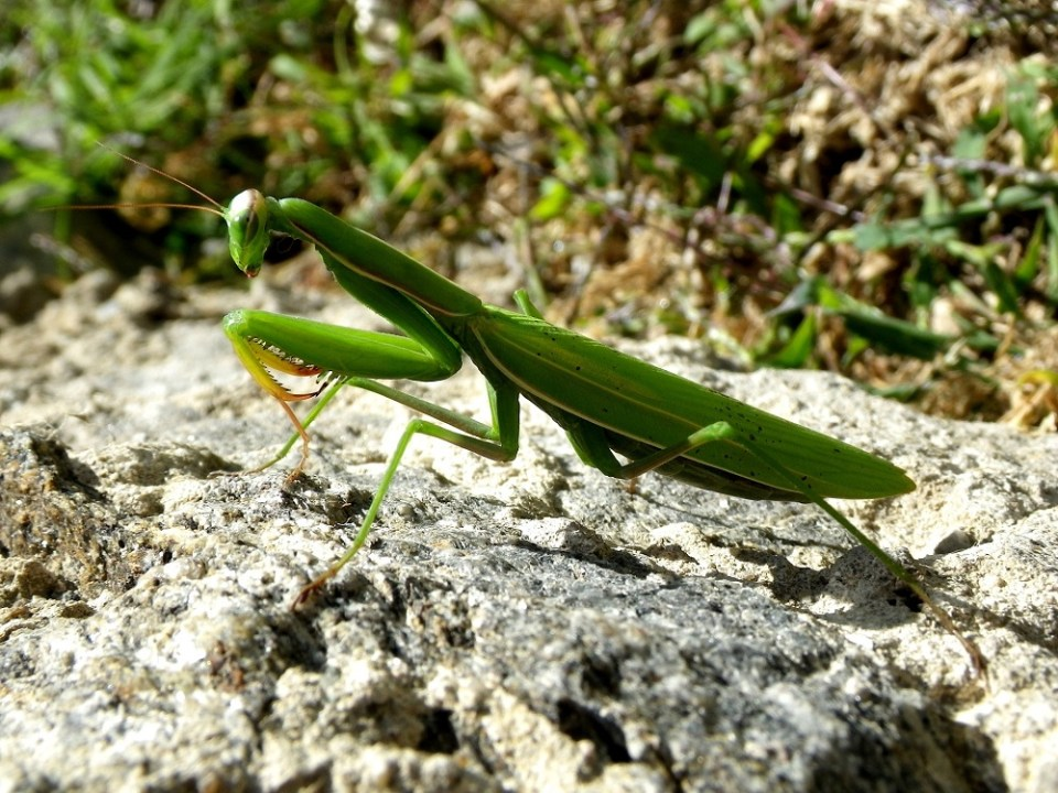 Hábitat y comportamiento de la mantis